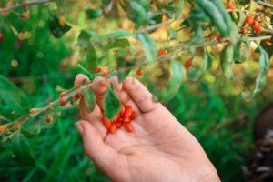Goji-Beeren im Garten anbauen – so klappt es