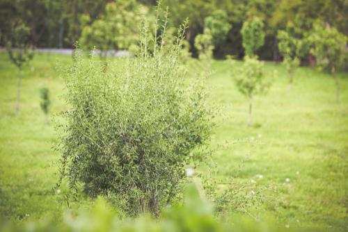 goji-beeren-pflanzen