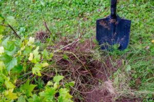 Johannisbeeren umpflanzen – so gehen Sie vor