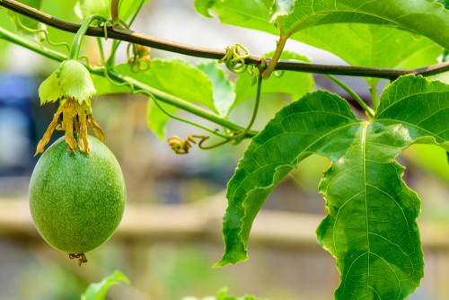 passionsblume-frucht