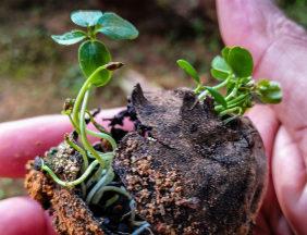 passionsblume-vermehren