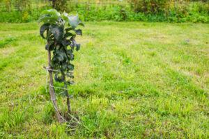 Säulenobst pflanzen – zu welcher Jahreszeit sollte das passieren?