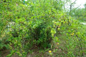 Stachelbeeren umpflanzen – mit diesen Tipps gelingt es