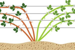 Brombeeren am Spalier wachsen lassen – das gibt es zu beachten