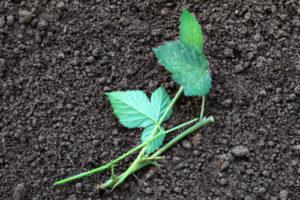 Brombeeren über Stecklinge vermehren – so klappt es