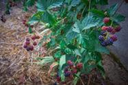 brombeeren-umpflanzen