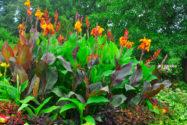 canna-auspflanzen
