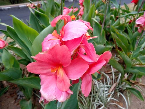 canna-einpflanzen