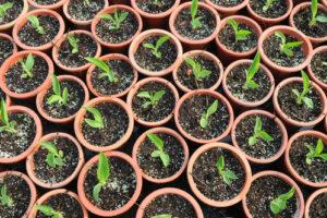 Canna aus Samen vorziehen