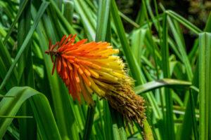 Was tun, wenn die Fackellilie nicht blüht?
