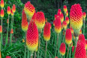 Ist die Fackellilie giftig?