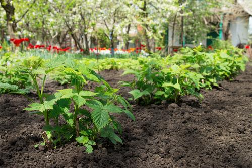 herbsthimbeeren-pflanzen