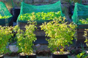 Himbeeren im Topf kultivieren – so gelingt es