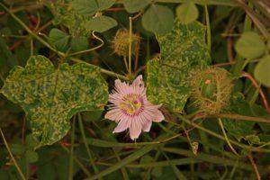 Welche Krankheiten treten bei der Passionsblume auf?