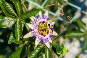 Eine Rankhilfe für die Passionsblume