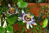 passionsblume-zimmerpflanze