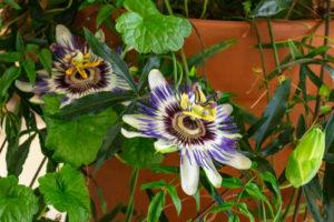 Ist die Passionsblume als Zimmerpflanze geeignet?