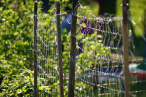 Rankhilfe für Himbeeren – das gibt es zu beachten