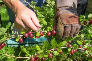 Stachelbeeren ernten – so geht es