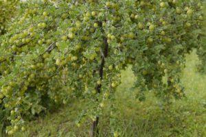 Stachelbeeren als Hochstamm schneiden – so klappt es