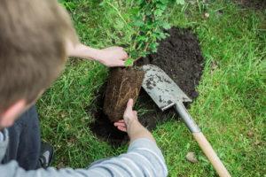 Stachelbeeren pflanzen – so geht es