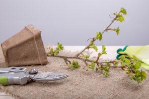 Stachelbeeren vermehren – so klappt es