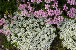 Was Sie beim Pflanzen von Steinkraut beachten sollten