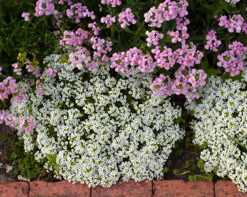 steinkraut-pflanzen