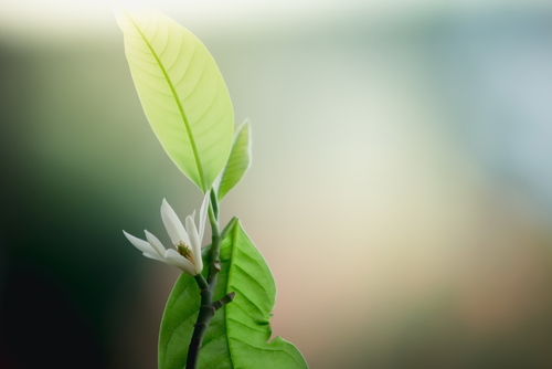 sternmagnolie-pflanzen