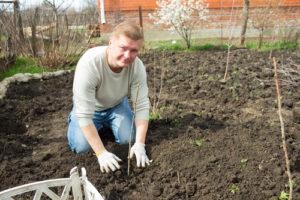 Wann ist die beste Zeit, um Himbeeren zu pflanzen?