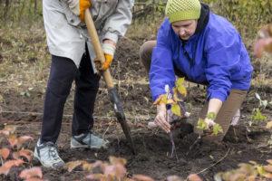 Himbeeren umpflanzen – So gelingt es