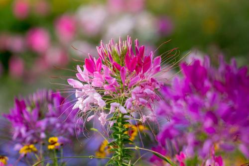 spinnenblume-ueberwintern