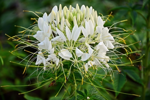 spinnenblume-winterhart