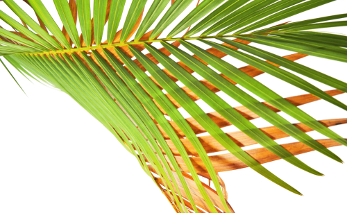 areca-palme-braune-blaetter
