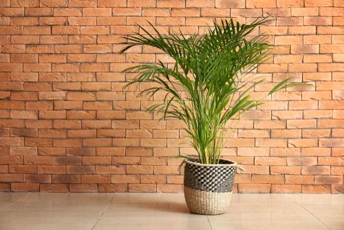 areca-palme-giftig