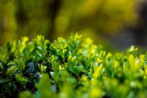 Ist die Japanische Stechpalme giftig?