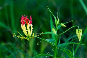Wie wird eine Ruhmeskrone gepflanzt?