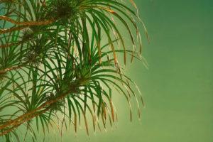 Der Schraubenbaum bekommt braune Blätter