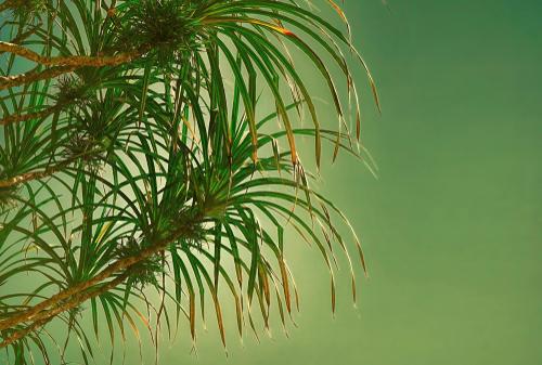 schraubenbaum-braune-blaetter