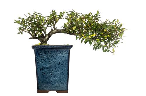 stechpalme-bonsai