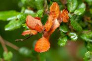 stechpalme-braune-blaetter