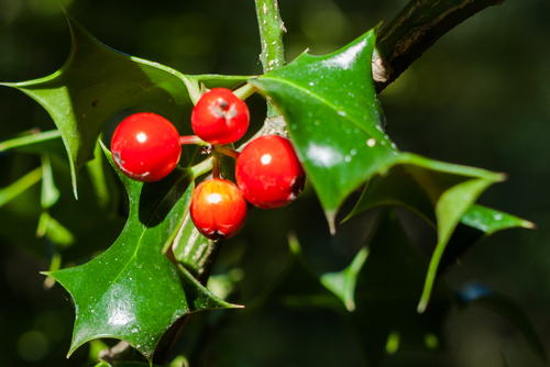 stechpalme-frucht