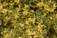 stechpalme-gelbe-blaetter