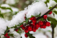 stechpalme-winterhart