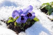 stiefmuetterchen-frost