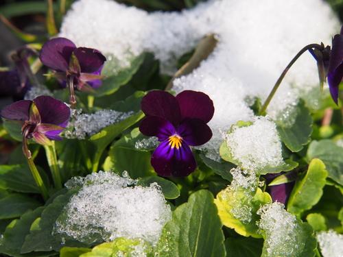 stiefmuetterchen-winterhart