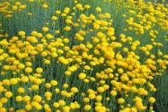 strohblume-mehrjaehrig