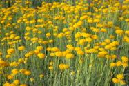 strohblume-pflege