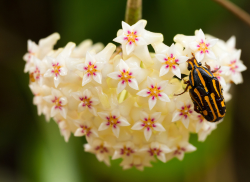 wachsblume-giftig