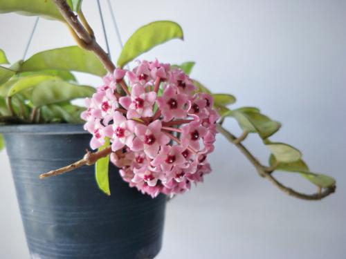wachsblume-ueberwintern